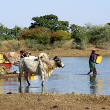 Des vaches pour lutter contre famine au Sahel
